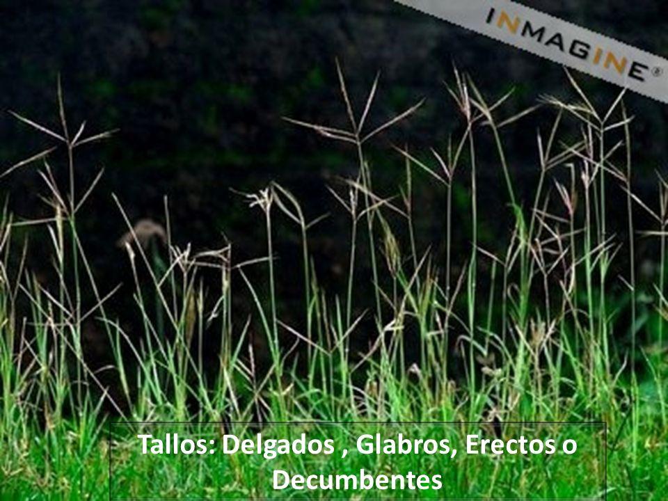 Tolerancia a las Heladas: Se hielan las hojas y los tallos a temperaturas de -2 ó -3 º C pero los rizomas sobreviven y en cuanto pase la temporada invernal el pasto se recupera rápidamente.