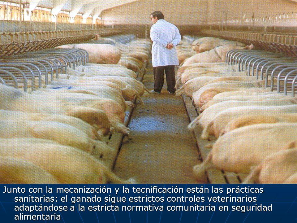 Junto con la mecanización y la tecnificación están las prácticas sanitarias: el ganado sigue estrictos controles veterinarios adaptándose a la estrict