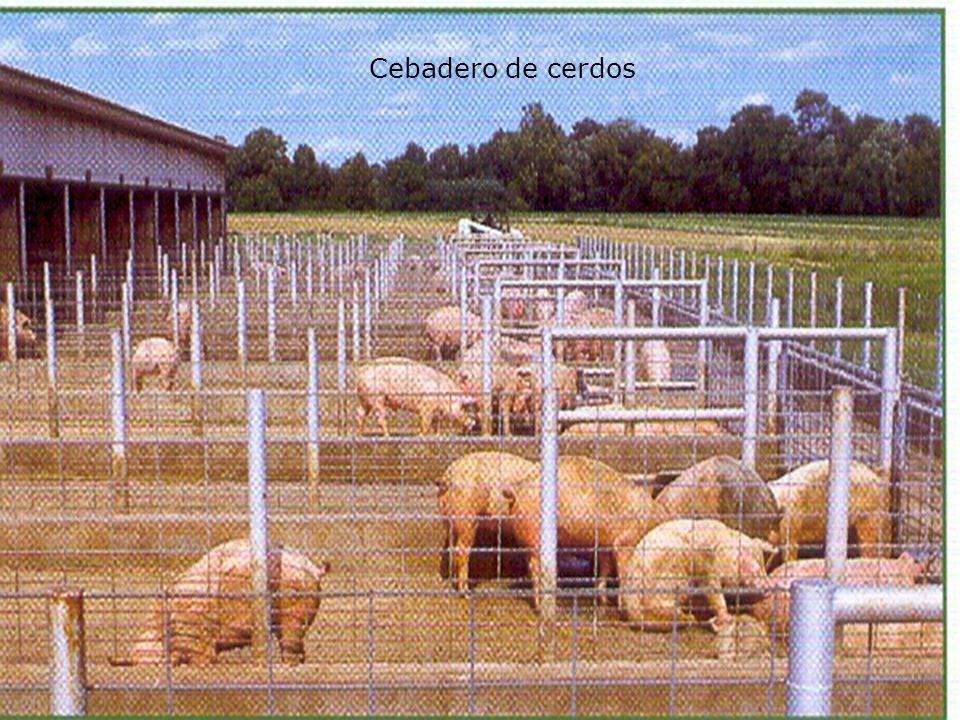 Cebadero de cerdos