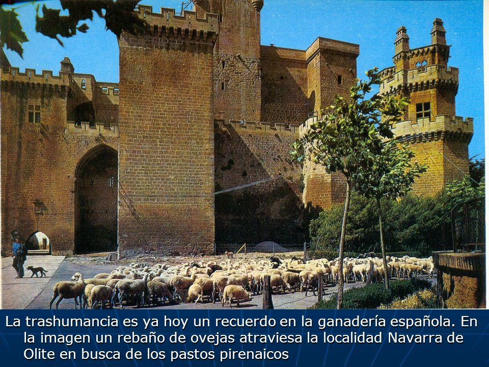 La trashumancia es ya hoy un recuerdo en la ganadería española. En la imagen un rebaño de ovejas atraviesa la localidad Navarra de Olite en busca de l