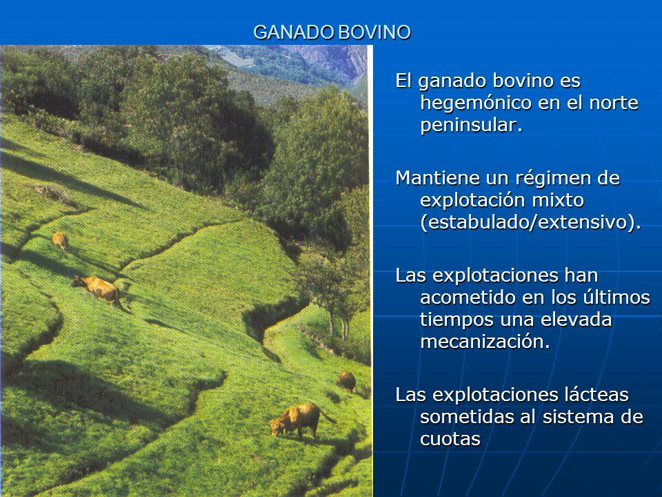 GANADO BOVINO El ganado bovino es hegemónico en el norte peninsular. Mantiene un régimen de explotación mixto (estabulado/extensivo). Las explotacione