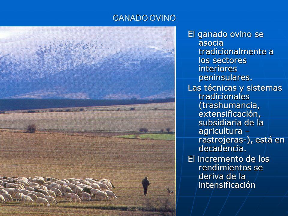 GANADO OVINO El ganado ovino se asocia tradicionalmente a los sectores interiores peninsulares. Las técnicas y sistemas tradicionales (trashumancia, e