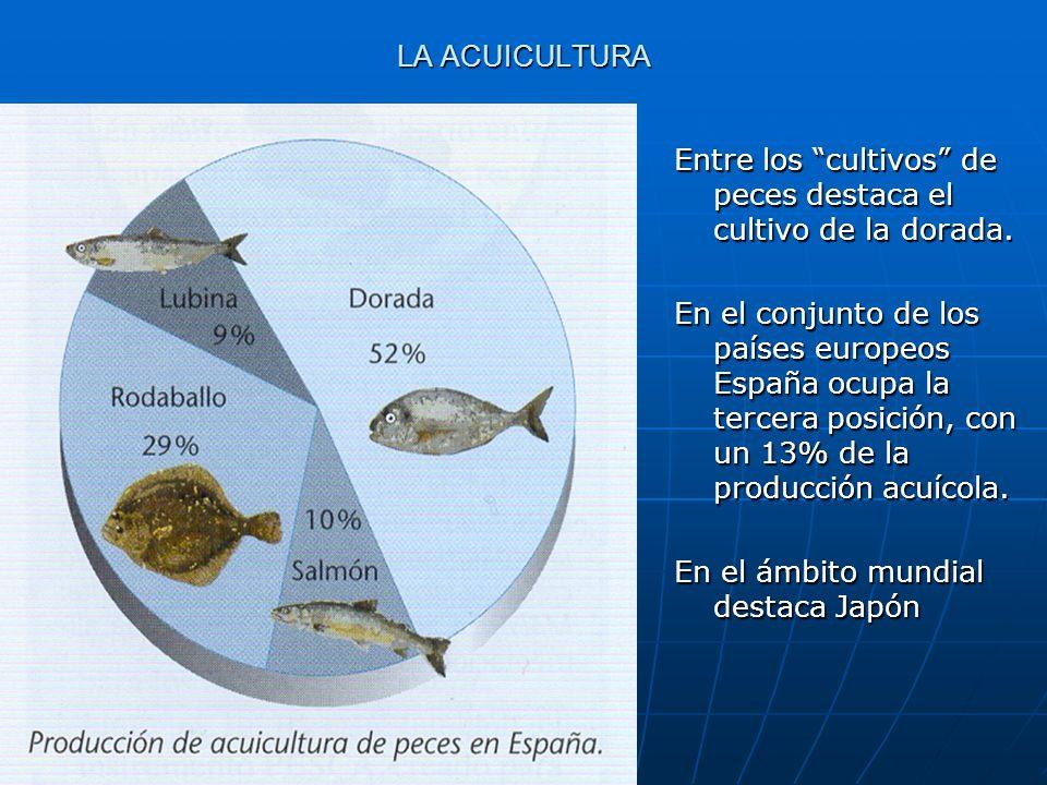 LA ACUICULTURA Entre los cultivos de peces destaca el cultivo de la dorada. En el conjunto de los países europeos España ocupa la tercera posición, co