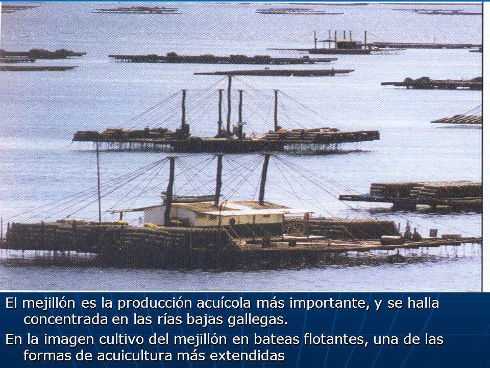El mejillón es la producción acuícola más importante, y se halla concentrada en las rías bajas gallegas. En la imagen cultivo del mejillón en bateas f