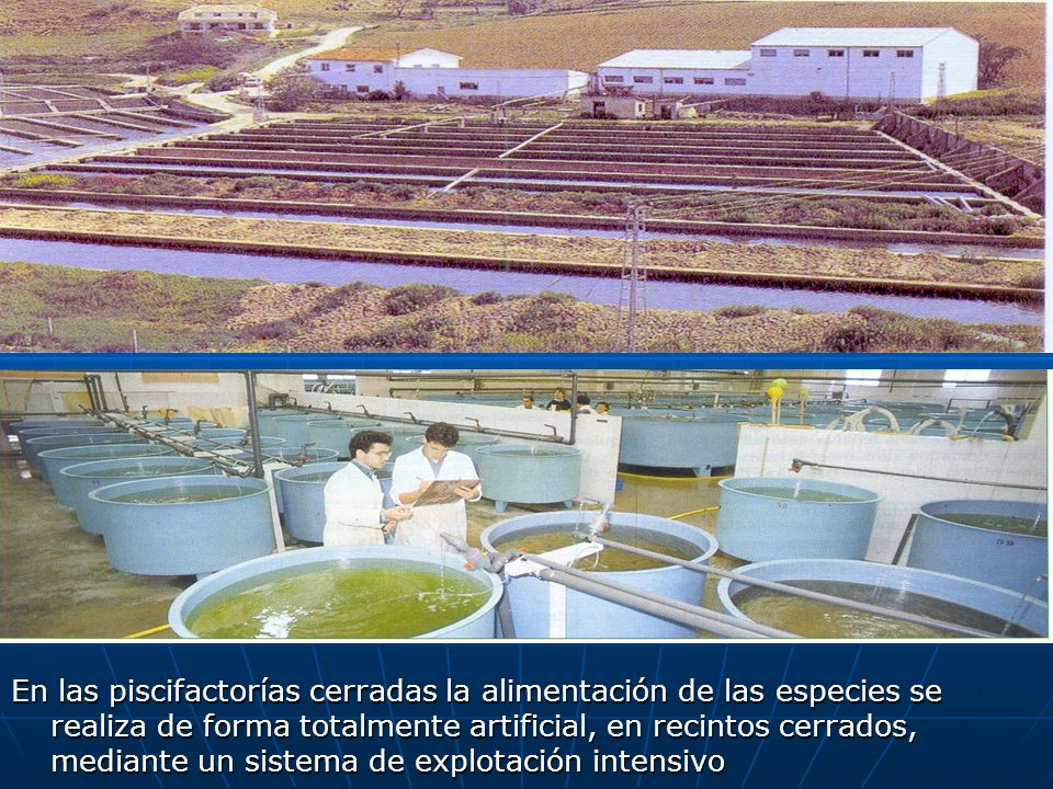 En las piscifactorías cerradas la alimentación de las especies se realiza de forma totalmente artificial, en recintos cerrados, mediante un sistema de
