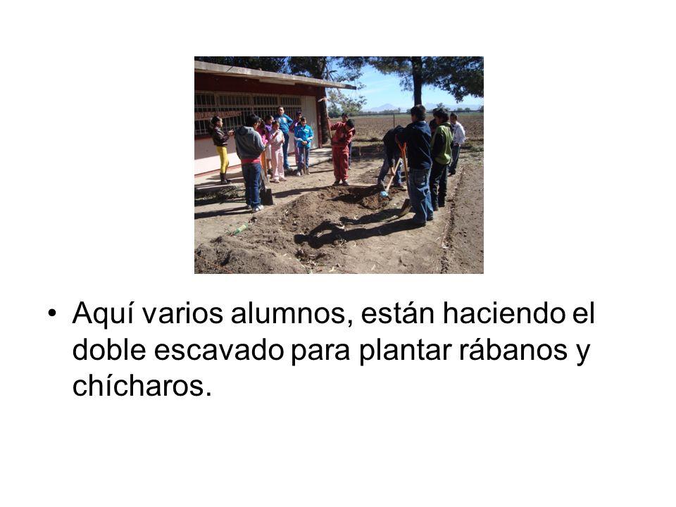 Aquí varios alumnos, están haciendo el doble escavado para plantar rábanos y chícharos.