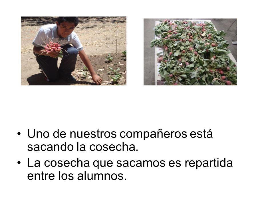 Uno de nuestros compañeros está sacando la cosecha. La cosecha que sacamos es repartida entre los alumnos.
