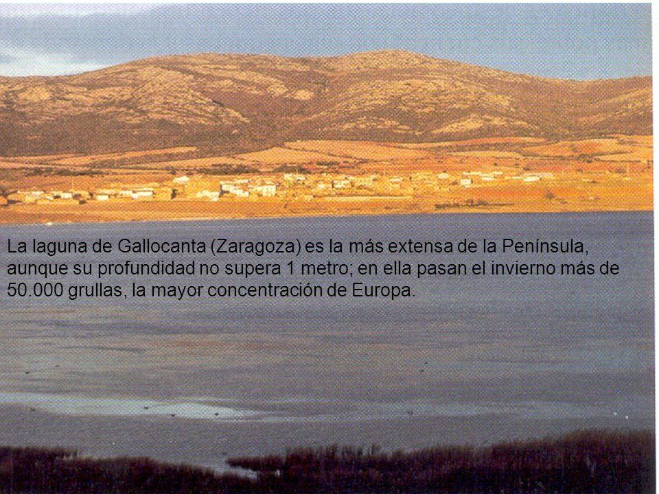 La laguna de Gallocanta (Zaragoza) es la más extensa de la Península, aunque su profundidad no supera 1 metro; en ella pasan el invierno más de 50.000