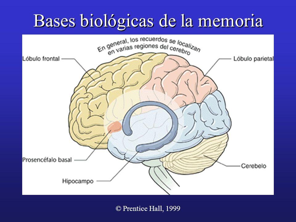 © Prentice Hall, 1999 Bases biológicas de la memoria