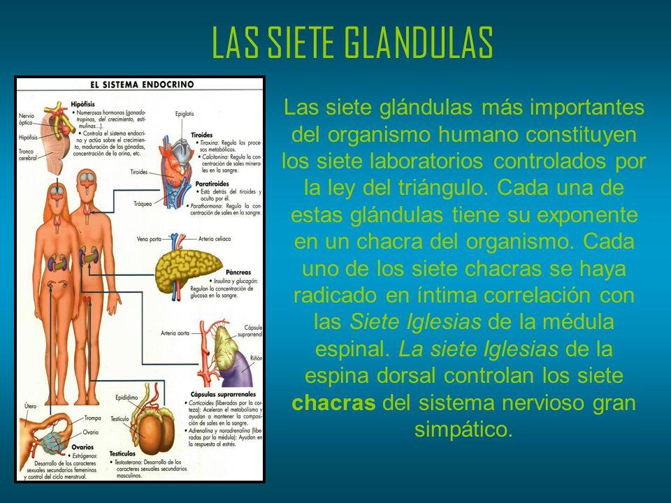 LAS SIETE GLANDULAS Las siete glándulas más importantes del organismo humano constituyen los siete laboratorios controlados por la ley del triángulo.