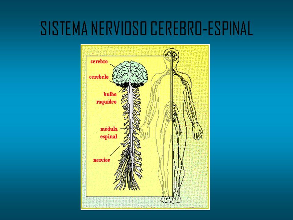 SISTEMA NERVIOSO CEREBRO-ESPINAL