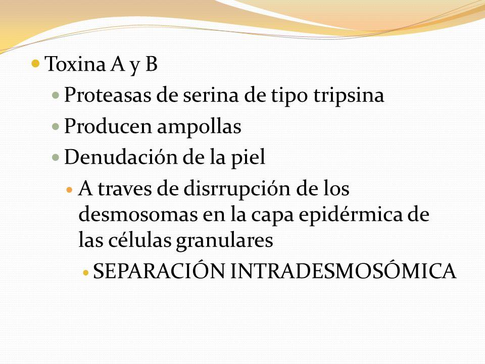 Toxina A y B Proteasas de serina de tipo tripsina Producen ampollas Denudación de la piel A traves de disrrupción de los desmosomas en la capa epidérm