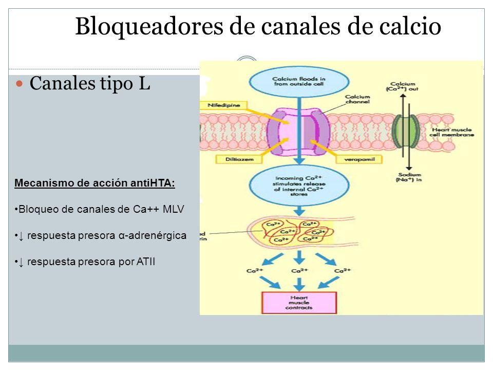 Bloqueadores de canales de calcio Canales tipo L Mecanismo de acción antiHTA: Bloqueo de canales de Ca++ MLV respuesta presora α-adrenérgica respuesta
