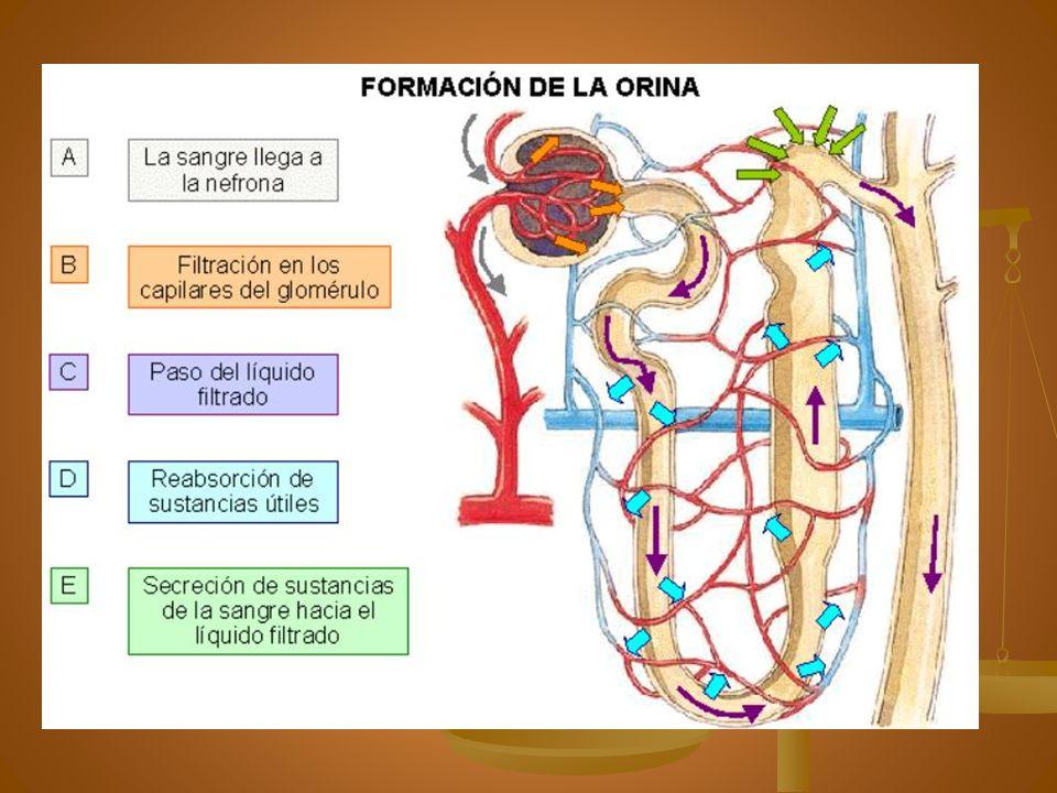 Aparato yuxtaglomerular Células yuxtaglomerulares, mácula densa y mesangiales Regulador de nefrona Regulador de nefrona Se localiza entre arteria aferente y TCD Se localiza entre arteria aferente y TCD Detecta la TA que llega al glomérulo y la composición del filtrado final Detecta la TA que llega al glomérulo y la composición del filtrado final Segrega Renina Segrega Renina Sensible a la concentración de Na en túbulo distal que retroalimenta a la secreción o no de renina Sensible a la concentración de Na en túbulo distal que retroalimenta a la secreción o no de renina