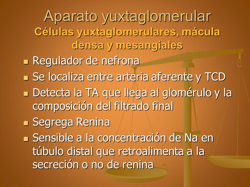 Aparato yuxtaglomerular Células yuxtaglomerulares, mácula densa y mesangiales Regulador de nefrona Regulador de nefrona Se localiza entre arteria afer