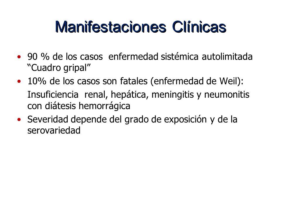 Manifestaciones Clínicas 90 % de los casos enfermedad sistémica autolimitada Cuadro gripal 10% de los casos son fatales (enfermedad de Weil): Insufici