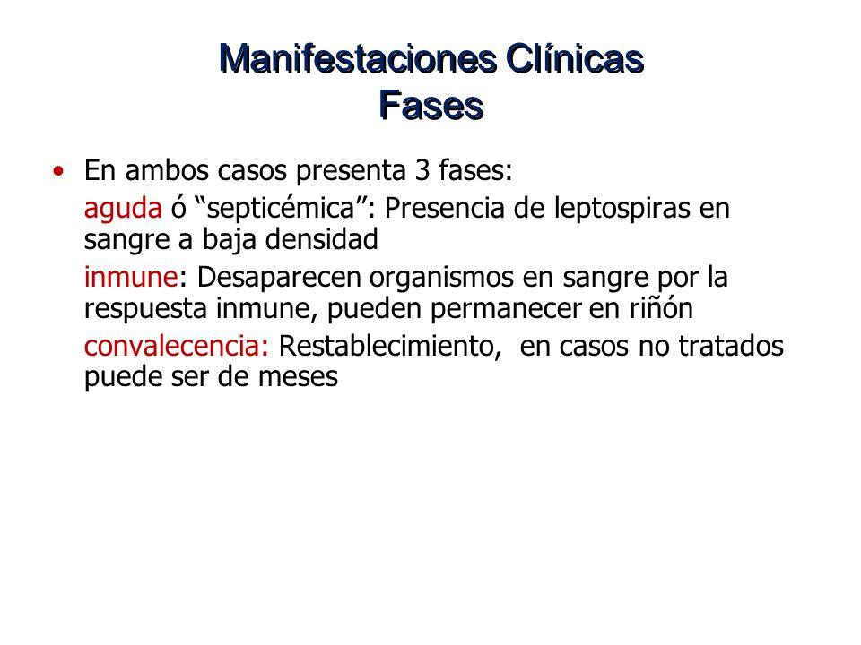 Manifestaciones Clínicas Fases En ambos casos presenta 3 fases: aguda ó septicémica: Presencia de leptospiras en sangre a baja densidad inmune: Desapa