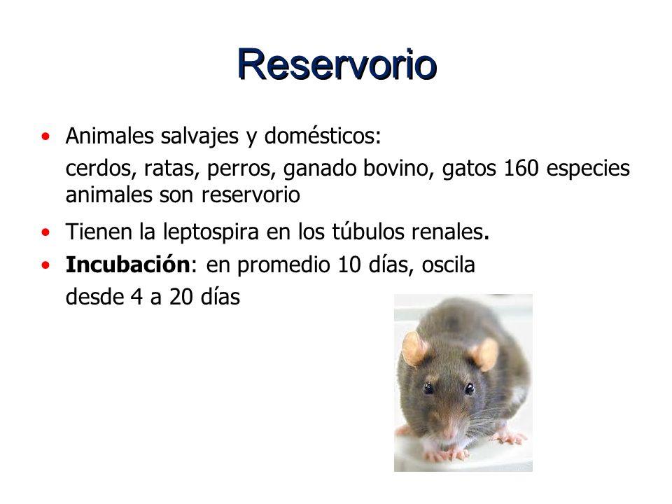 Reservorio Animales salvajes y domésticos: cerdos, ratas, perros, ganado bovino, gatos 160 especies animales son reservorio Tienen la leptospira en lo