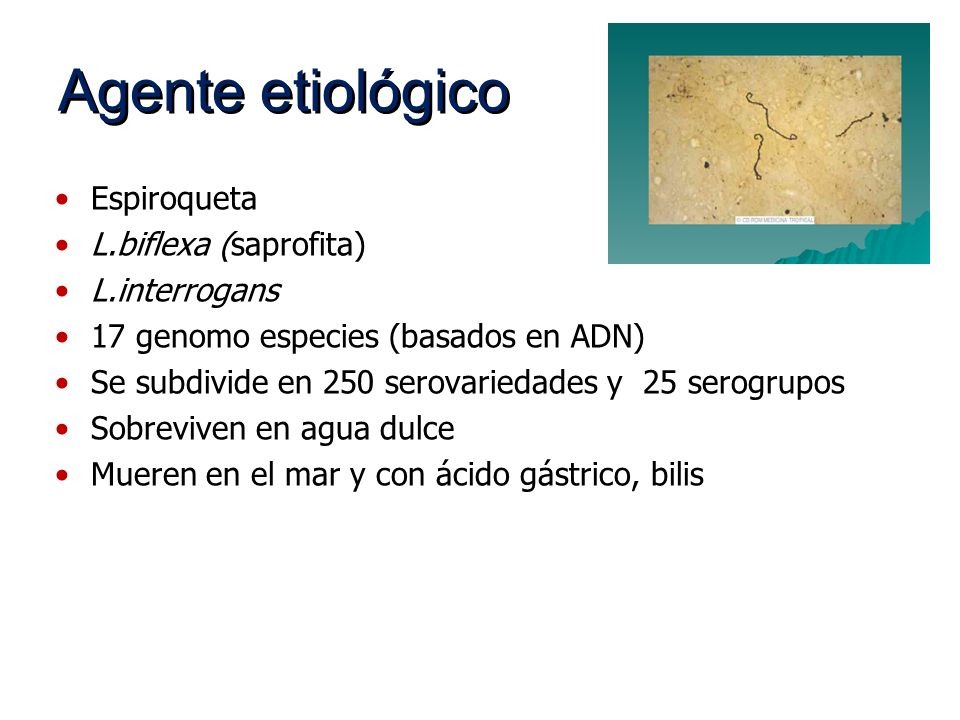Agente etiológico Espiroqueta L.biflexa (saprofita) L.interrogans 17 genomo especies (basados en ADN) Se subdivide en 250 serovariedades y 25 serogrup