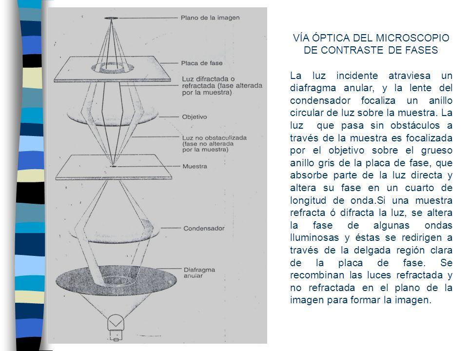 VÍA ÓPTICA DEL MICROSCOPIO DE CONTRASTE DE FASES La luz incidente atraviesa un diafragma anular, y la lente del condensador focaliza un anillo circular de luz sobre la muestra.