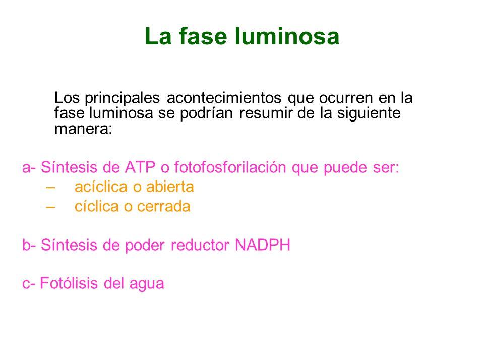 La fase luminosa Los principales acontecimientos que ocurren en la fase luminosa se podrían resumir de la siguiente manera: a- Síntesis de ATP o fotof