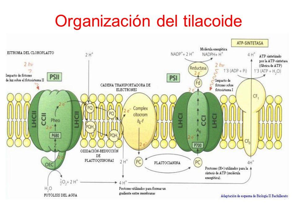 Organización del tilacoide