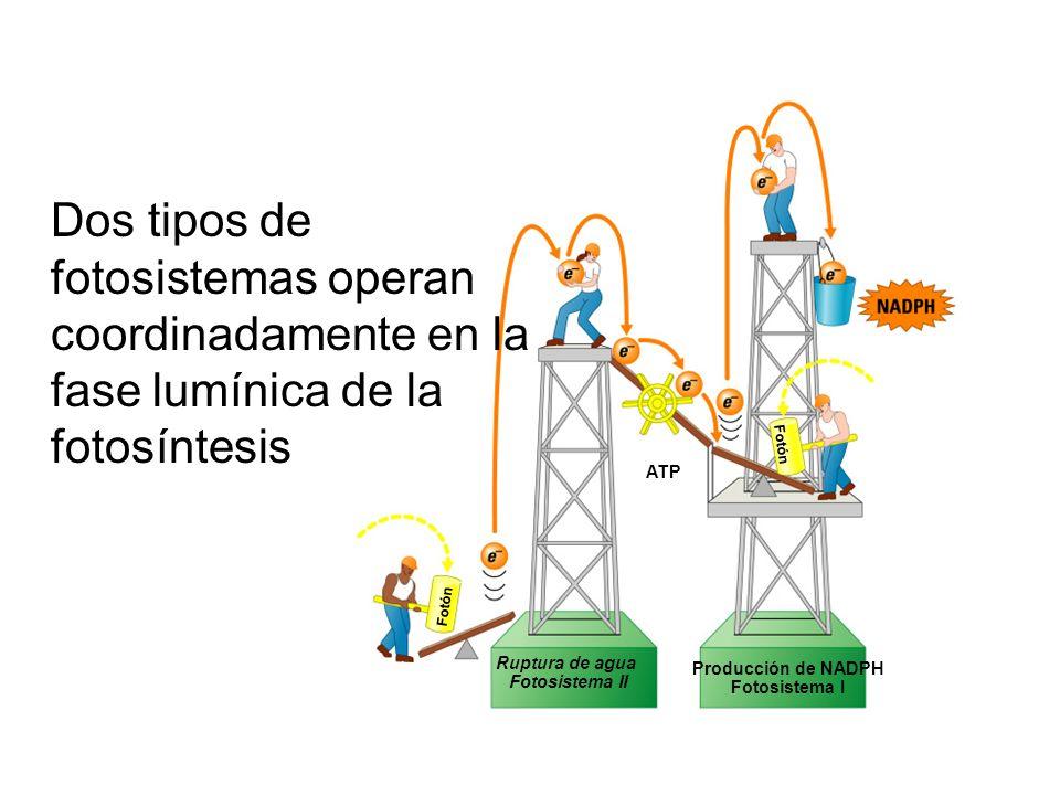 Fotón Ruptura de agua Fotosistema II Producción de NADPH Fotosistema I ATP Dos tipos de fotosistemas operan coordinadamente en la fase lumínica de la