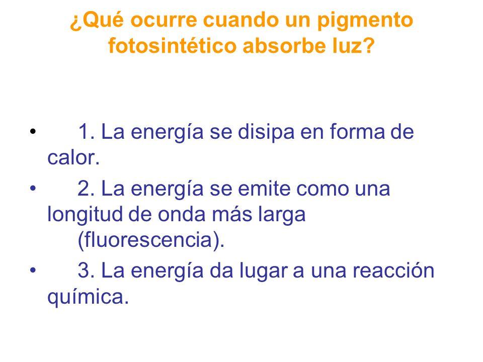 ¿Qué ocurre cuando un pigmento fotosintético absorbe luz? 1. La energía se disipa en forma de calor. 2. La energía se emite como una longitud de onda