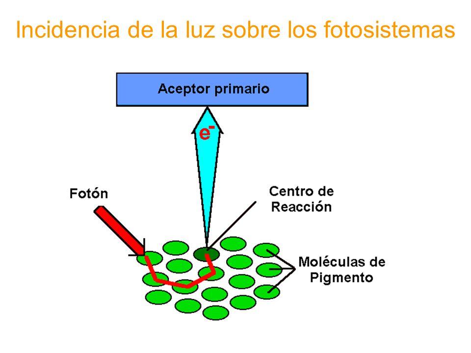 Incidencia de la luz sobre los fotosistemas