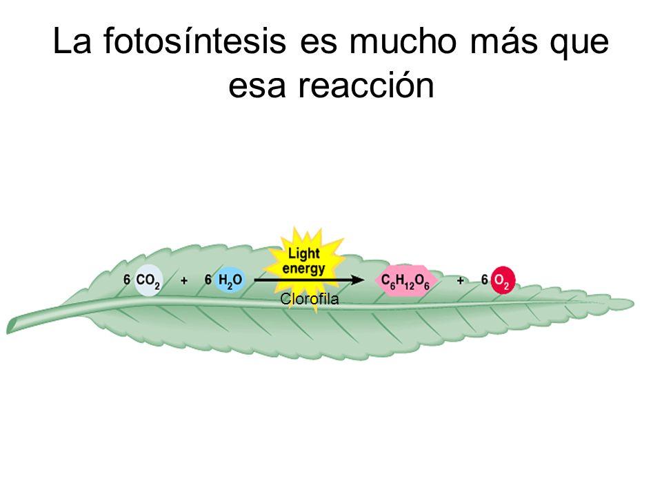 La fotosíntesis es mucho más que esa reacción Clorofila