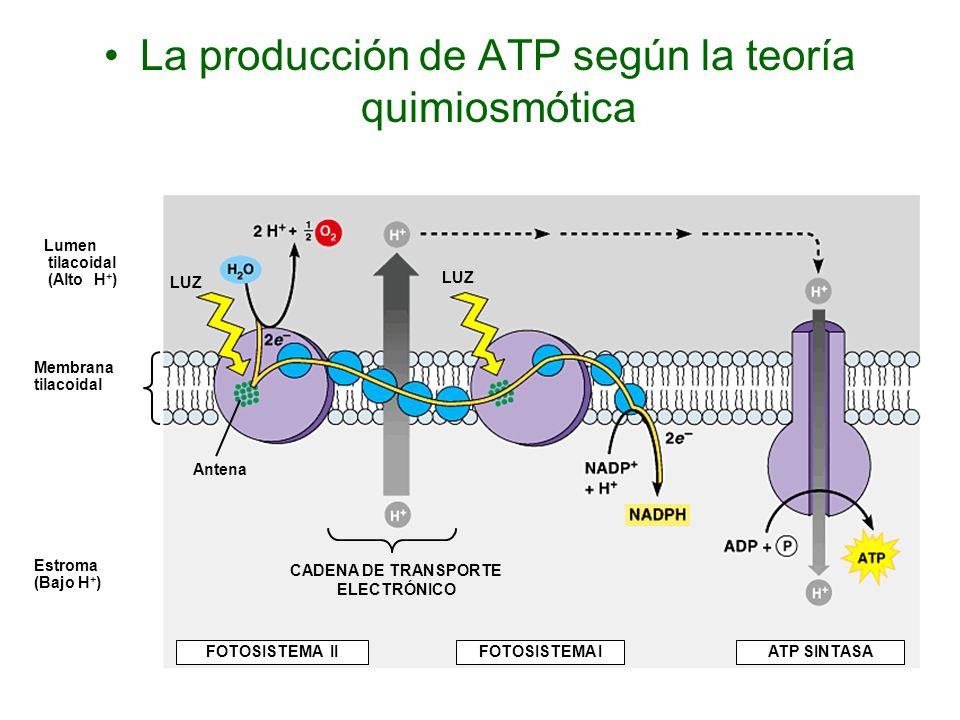 La producción de ATP según la teoría quimiosmótica Lumen tilacoidal (Alto H + ) Membrana tilacoidal Estroma (Bajo H + ) LUZ Antena LUZ CADENA DE TRANS