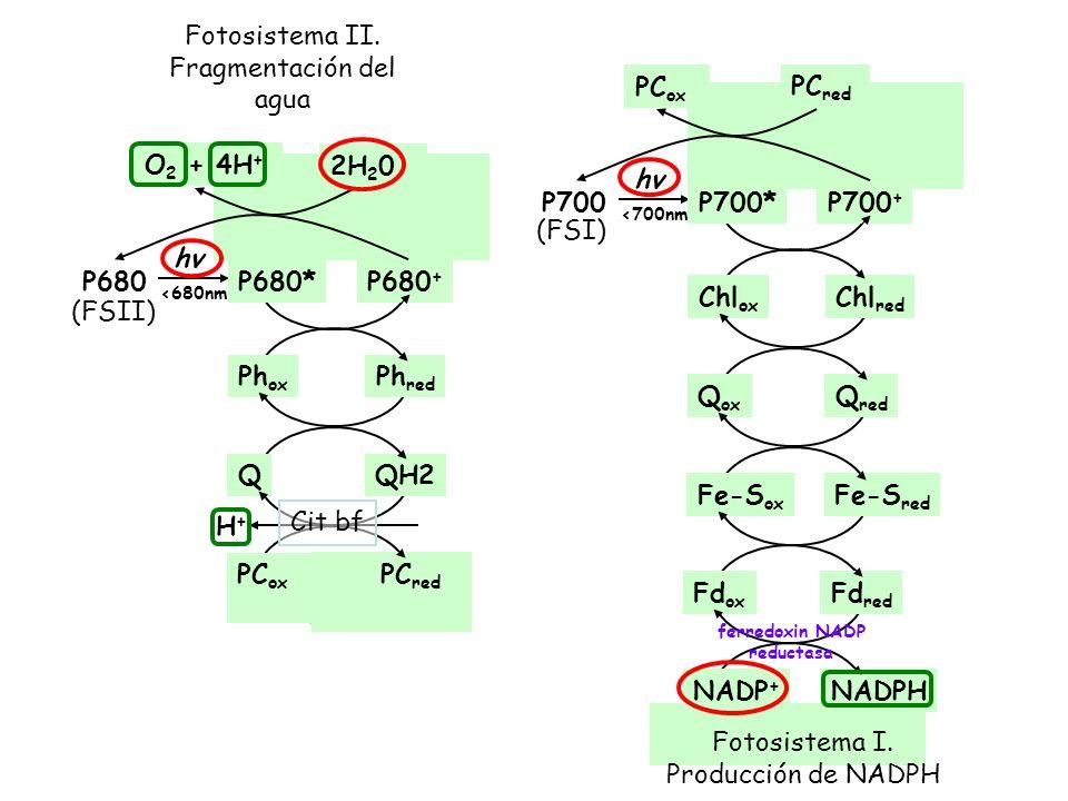 Fd ox Fd red NADP + NADPH ferredoxin NADP reductasa P700 + Chl ox Chl red P680 + Ph ox Ph red P680 hv <680nm P680* (FSII) P700 hv <700nm P700* (FSI) P
