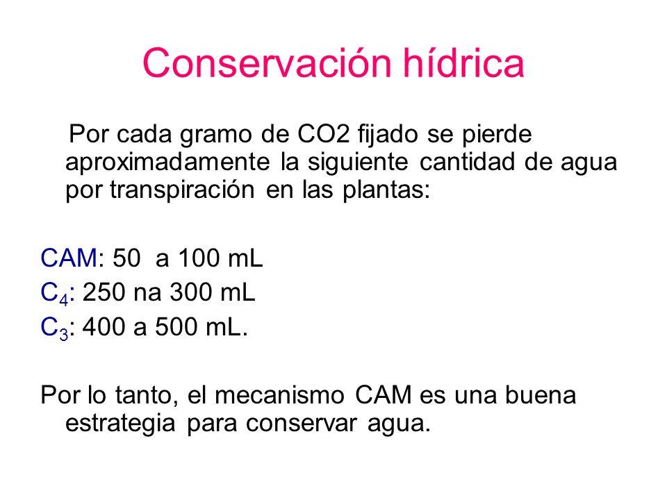 Conservación hídrica Por cada gramo de CO2 fijado se pierde aproximadamente la siguiente cantidad de agua por transpiración en las plantas: CAM: 50 a