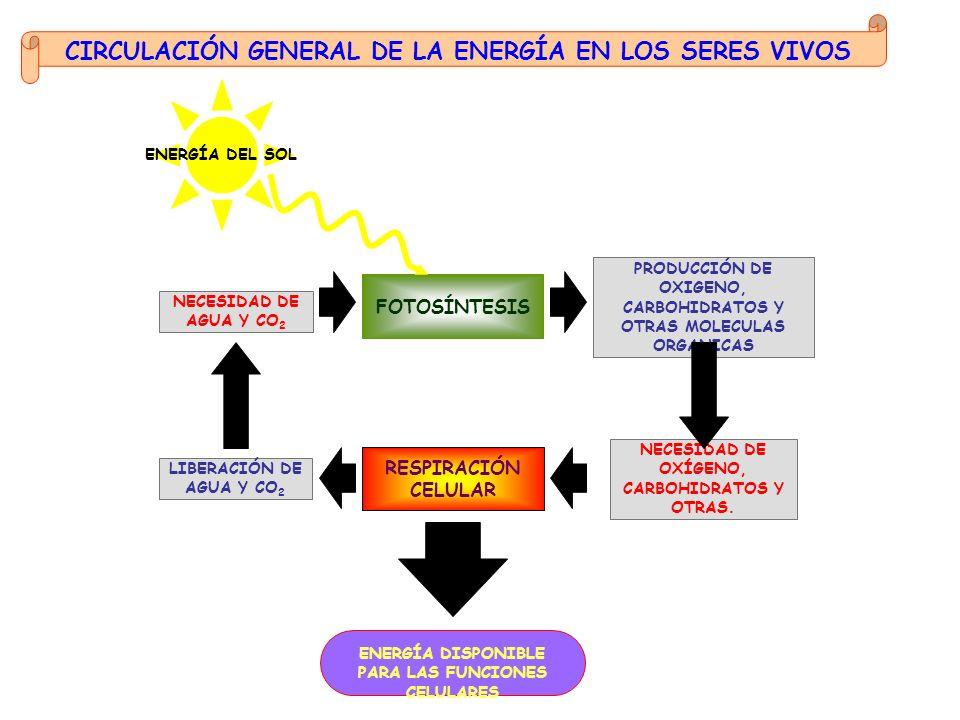 ENERGÍA DISPONIBLE PARA LAS FUNCIONES CELULARES ENERGÍA DEL SOL FOTOSÍNTESIS PRODUCCIÓN DE OXIGENO, CARBOHIDRATOS Y OTRAS MOLECULAS ORGANICAS NECESIDA