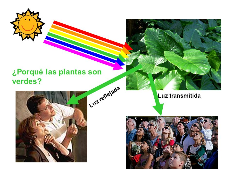 ¿Porqué las plantas son verdes? Luz reflejada Luz transmitida