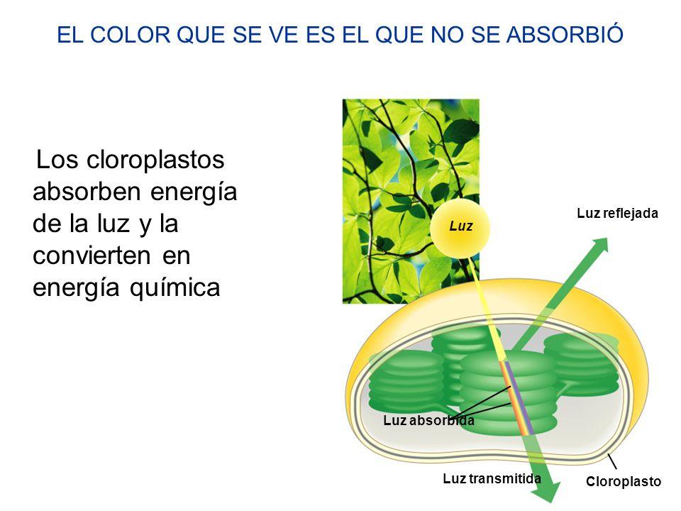 Los cloroplastos absorben energía de la luz y la convierten en energía química Luz Luz reflejada Luz absorbida Luz transmitida Cloroplasto EL COLOR QU