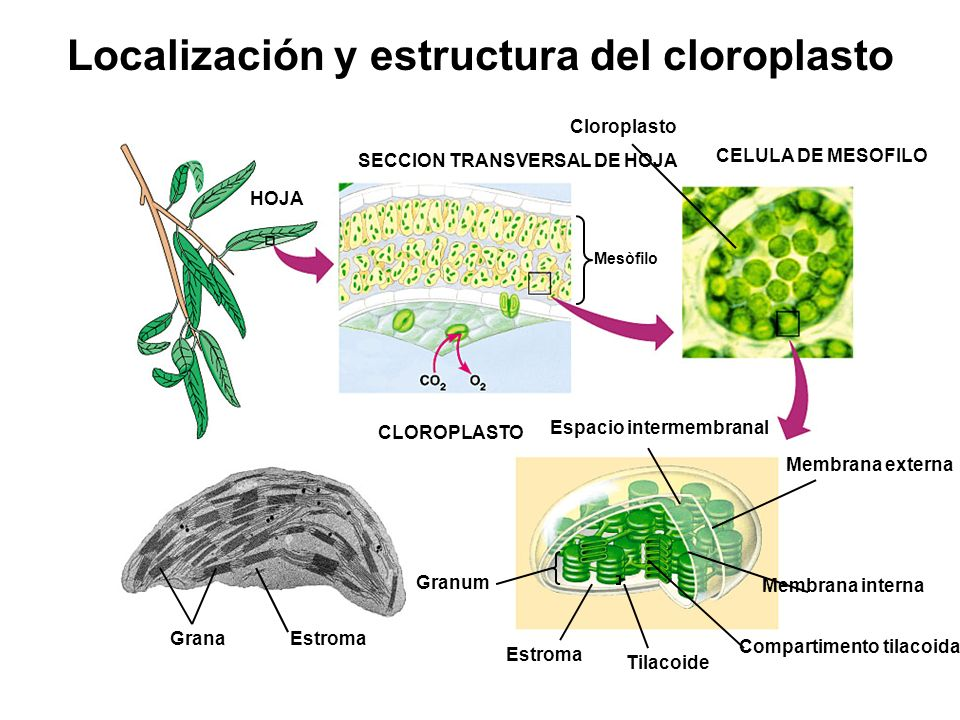 Localización y estructura del cloroplasto SECCION TRANSVERSAL DE HOJA CELULA DE MESOFILO HOJA Cloroplasto Mesòfilo CLOROPLASTO Espacio intermembranal