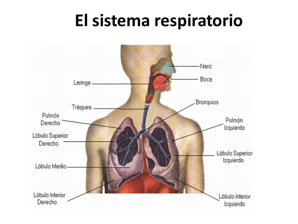 Lóbulo medio El síndrome del lóbulo medio (SLM) se define por la átele asía recurrente o crónica de dicho lóbulo.