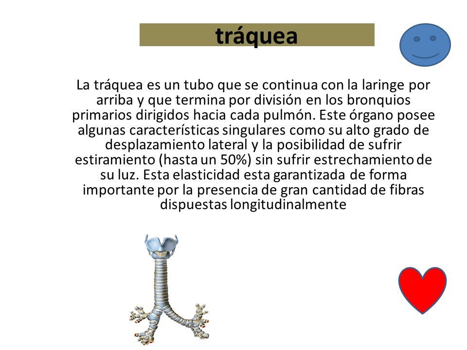 tráquea La tráquea es un tubo que se continua con la laringe por arriba y que termina por división en los bronquios primarios dirigidos hacia cada pul