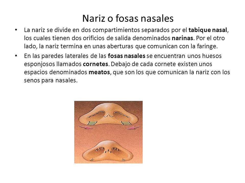 Nariz o fosas nasales La nariz se divide en dos compartimientos separados por el tabique nasal, los cuales tienen dos orificios de salida denominados