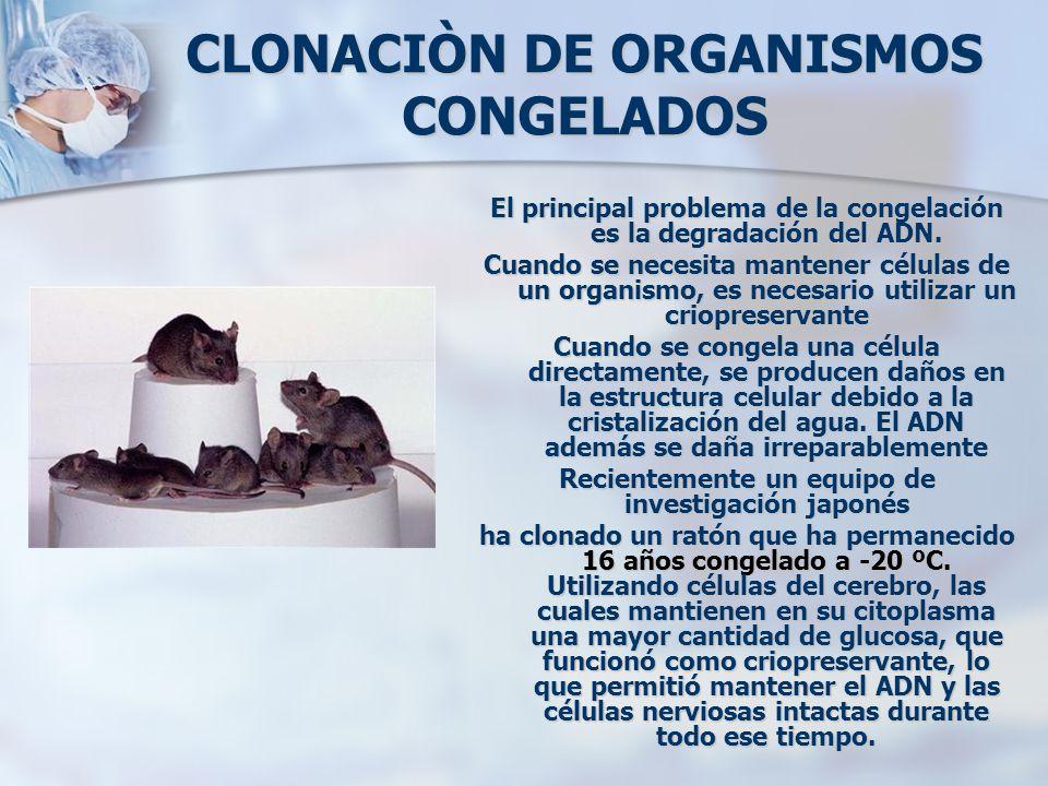 CLONACIÒN DE ORGANISMOS CONGELADOS El principal problema de la congelación es la degradación del ADN. Cuando se necesita mantener células de un organi