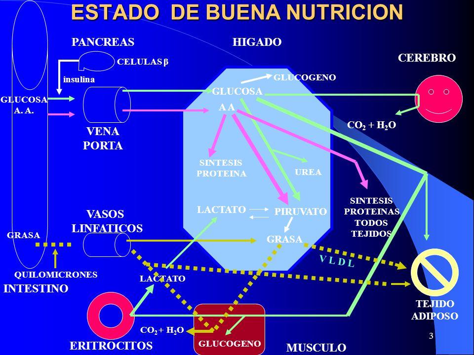 3 ESTADO DE BUENA NUTRICION GLUCOGENO GLUCOSA A SINTESIS PROTEINA UREA PIRUVATO LACTATO GRASA CEREBRO TEJIDO ADIPOSO MUSCULO ERITROCITOS VASOS LINFATI