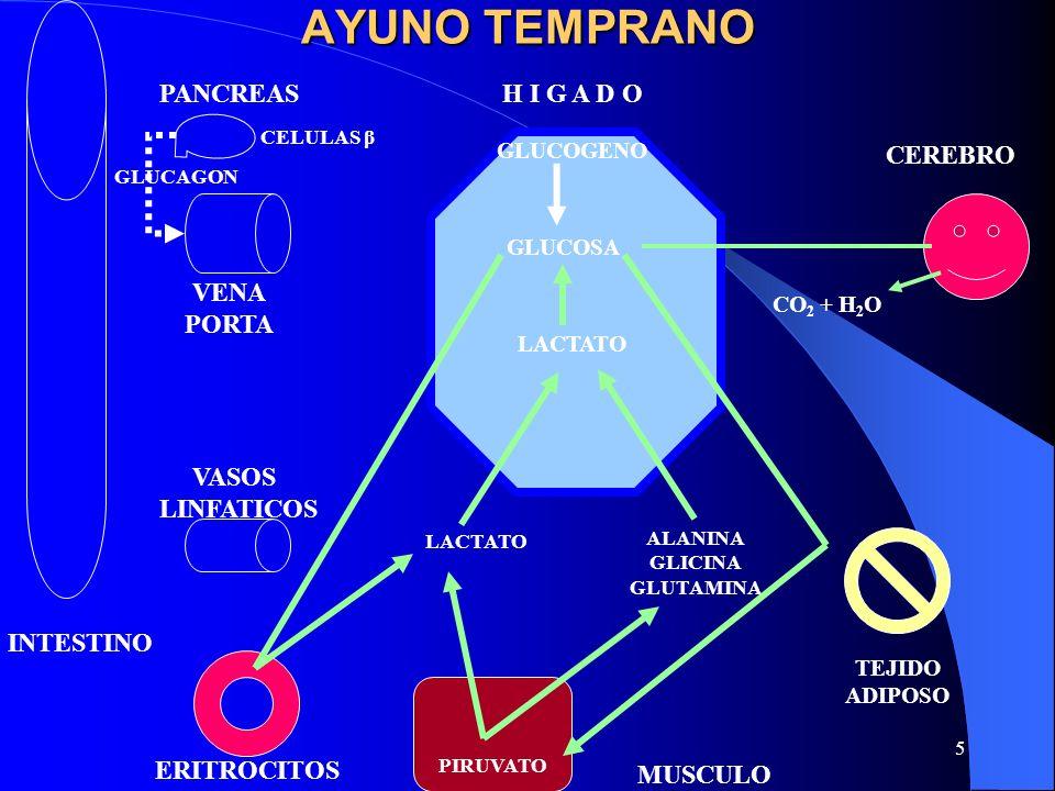 6 ESTADO DE AYUNO PROLONGADO GLUCOSA UREA LACTATO CEREBRO TEJIDO ADIPOSO MUSCULO ERITROCITOS VASOS LINFATICOS VENA PORTA INTESTINO PANCREAS HIGADO CO 2 + H 2 O LACTATO PROTEINA GLUCAGON CELULAS β PROTEINA A.A.