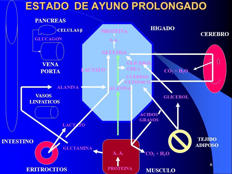 6 ESTADO DE AYUNO PROLONGADO GLUCOSA UREA LACTATO CEREBRO TEJIDO ADIPOSO MUSCULO ERITROCITOS VASOS LINFATICOS VENA PORTA INTESTINO PANCREAS HIGADO CO