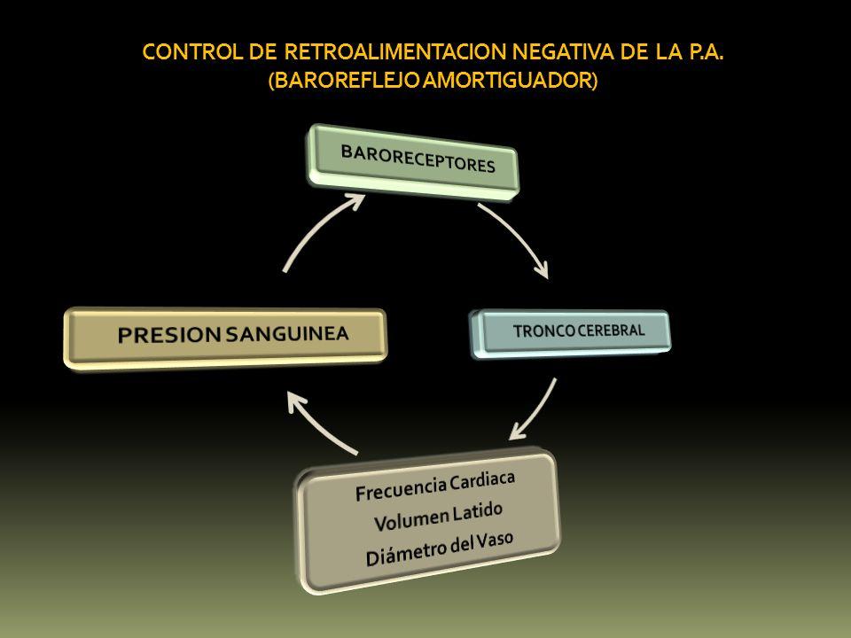 CONTROL DE RETROALIMENTACION NEGATIVA DE LA P.A. (BAROREFLEJO AMORTIGUADOR)