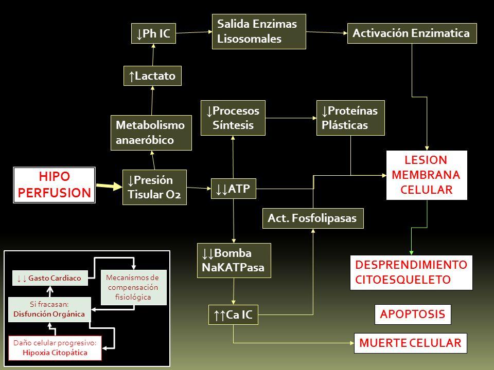 HIPO PERFUSION Presión Tisular O2 ATP Metabolismo anaeróbico Lactato Ph IC Salida Enzimas Lisosomales Activación Enzimatica Procesos Síntesis Proteína