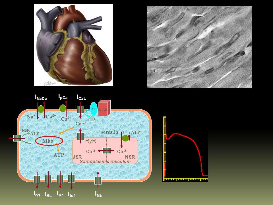 Corazón y Vasos Sanguíneos Vasculatura: Permeabilidad Vascular Vasodilatación RVS Función Cardiaca: Taquicardia compensatoria RVS y FC: GC Citokinas y NO función sistólica y relajación diastólica.