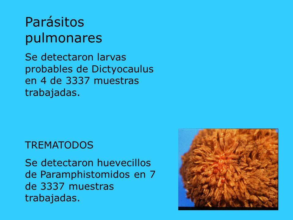 Parásitos pulmonares Se detectaron larvas probables de Dictyocaulus en 4 de 3337 muestras trabajadas. TREMATODOS Se detectaron huevecillos de Paramphi