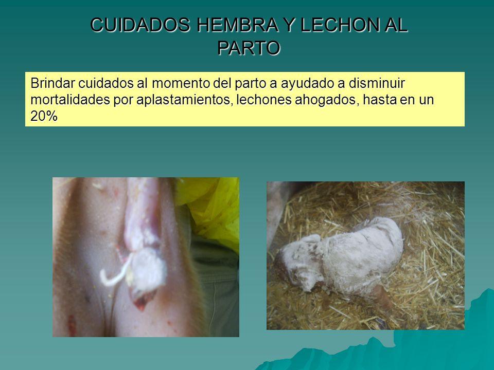 CUIDADOS HEMBRA Y LECHON AL PARTO Brindar cuidados al momento del parto a ayudado a disminuir mortalidades por aplastamientos, lechones ahogados, hast