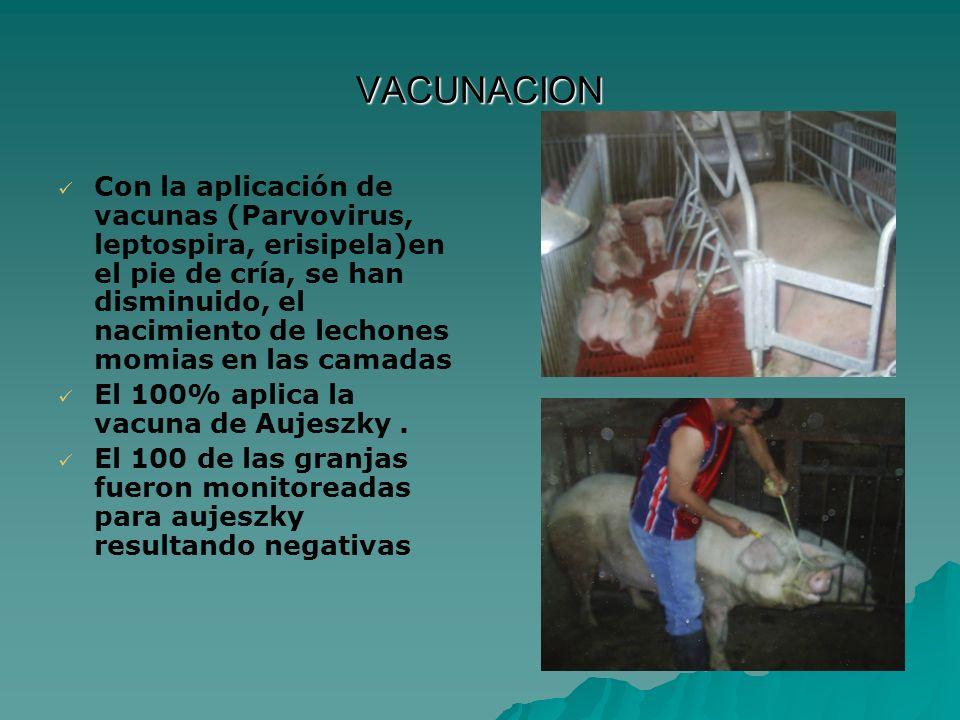 VACUNACION Con la aplicación de vacunas (Parvovirus, leptospira, erisipela)en el pie de cría, se han disminuido, el nacimiento de lechones momias en l